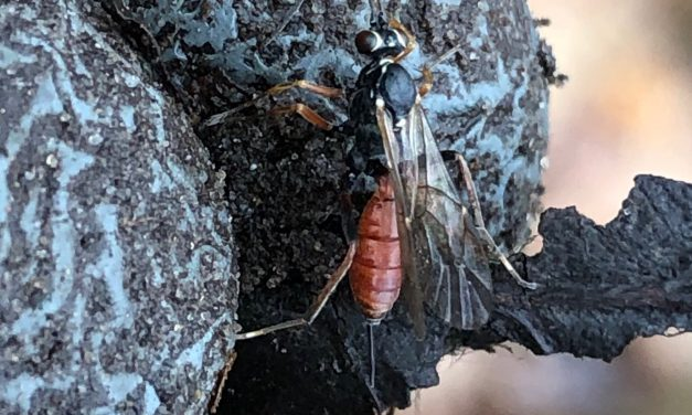 Sluipwespen of parasitaïre wespen (Parasitica)