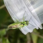 Blad- of zaagwespen (Symphyta)