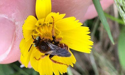 Bijen en wespen (Aculeata, angeldragers)